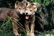 vlci a lišky