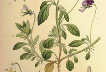Desenhos/fotos botânica