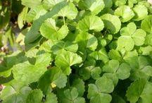 my favourite medicinal herbies