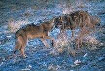 Eastern Europe - Latvia / News and Information about Wolves in Latvia