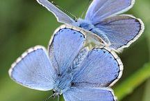 Butterflies - Papillons - Perhoset