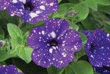 """Night Sky™ Petunia / The most strikingly, beautiful, plant to be developed in years.  Awarded Europe's prestigious FleuroStar Award in 2015 for its strong visual impact and """"wow"""" effect."""