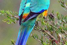 """Psephotus / Al genere """"psephotus"""" appartengono alcune specie di pappagalli australiani intermedie tra le roselle (platycercus) ed i neophema. I pappagalli appartenenti a questo genere infatti non hanno caratteristiche di grandissima omogeneità."""