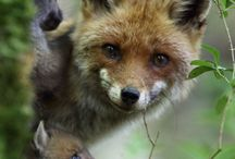 Vos/fox