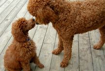 Poodles / All about the Poodle Dog Breed