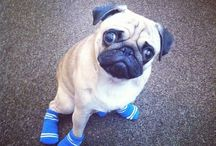 Pugs in socks (and shoes)
