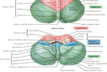 Neuroanatómia / Neuroanatómia - CNS, PNS, zmysly