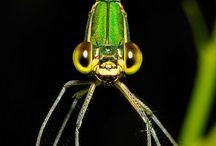 Libellules-Dragonflies