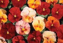 pansy golden