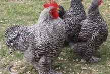 chick and roosters