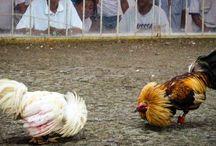 Sabung Ayam CF88