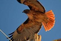 Barstow Wildlife