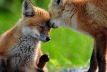 Red fox / Red Fox