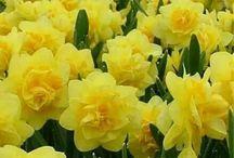 весенние цветы:нарцисы, ландыши, маки..