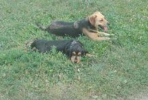 Maya Snoopy / Maya a 2 éves kutyusom, egy németjuhász keverék. Snoopy pedig egy fajtiszta angol cocker spániel.