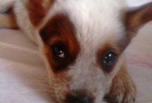 Meus Australian Catle Dog :) / Paixão por Australian Catle Dog..