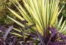 Yucca Combinations / Plant partnerships that include yuccas (also known as Adam's needles)