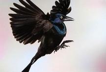 Black Birds & Ravens