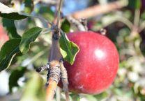 Garden - Fruit Trees