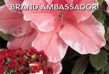 Encore Azalea Brand Ambassador / Show us you YOU use Encore Azaleas in YOUR landscape!
