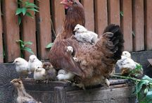 hen and chics