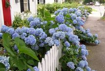 Ortanca (Hydrangia) Kartopu / Ortancagiller (Hydrangaeceae) familyasına ait Hydrangea cinsini oluşturan yaklaşık 20 çalımsı bitki türünün ortak adı. Karşılıklı dizilen, kenarları dişli yaprakları vardır. Kümeler hâlinde beyaz, kırmızı, mavi ya da mor çiçekler verir. Çiçekler, bitkinin yetiştiği toprağın asidik özelliğine göre farklı renkler alır. Gösterişli çiçeklerinden ötürü süs bitkisi olarak yetiştirilir. Batı yarı küreye ve Asya'nın doğu kesimlerine özgü bir bitki türüdür.