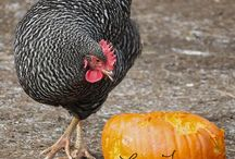 My little ladies / Chicken keeping & farm life / by Cory Tschoerner