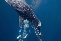 Top Whale-Shark Photos / A creature like no other the Whale-Shark has the shape of a shark but feeds like a whale! The longest bony fish in the world, up to 18m long, can be found in almost all tropical and subtropical destinations. Here are some of our best picks!