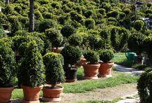 Buxusgarden / Buxusgarden, booxwood