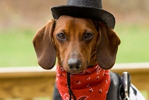 Dachshund / Wieners / Doxies  / Yea, I know their Dachshunds, but everyone calls them wiener dogs so why fight it.  They're cute by any name! And besides, the child in me likes the play on words!