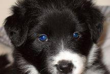 Border collie puppies / Cute border collie puppies!