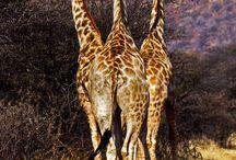 kameelperde