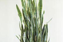 Szobanövények