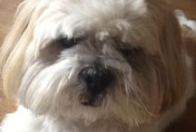 Lhasa Apso / by Alta Cannaday