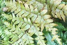Ferns / A selection of Ferns available from our Nursery in Hooe, East Sussex