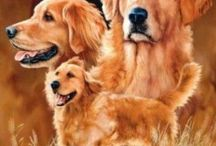About Golden Retriever Dogs and puppies / Everything you want to know about Golden Retriever Dogs and Golden Retriever puppies