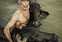 Indian's cattle love