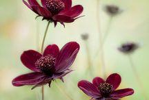 Cosmos - krásenka - (Coreopsideae) - Krásnoočko - Coreopsis