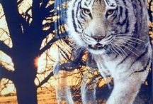 Wild Animal Tiger Wall Decor Art Print Posters