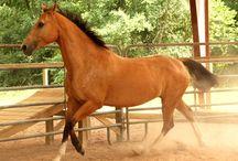 Real Horses
