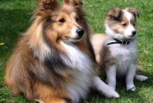 Shelties / by Maysa Chachamovits
