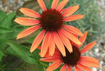Just Add Echinacea / Echinacea are perennial plants which are very adaptable to drought, heat, humidity and poor soil. Echinacea flowers produce daisy like blooms which grow atop stiff stems. They are commonly called coneflower.