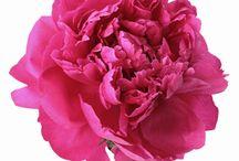 PANTONE: hot pink