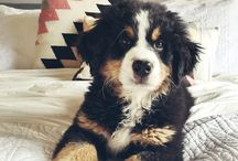 Dogs (Bernese Mountain Dogs)
