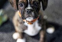 Boxers pup