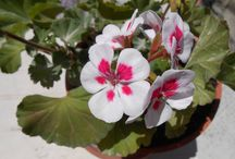 Flowers / In Love with a Geranium