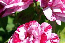 My fav flowers