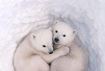 polar bears❤