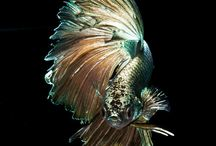 Stunning betta fish & others