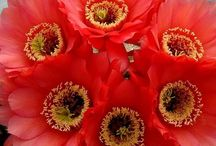 Kaktus Blomme